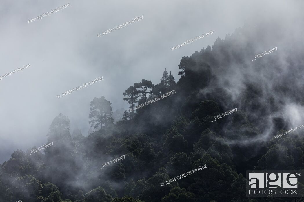 Stock Photo: Fog in Canary Island pine forest, El Paso Municipality, La Palma island, Canary Islands, Spain, Europe.