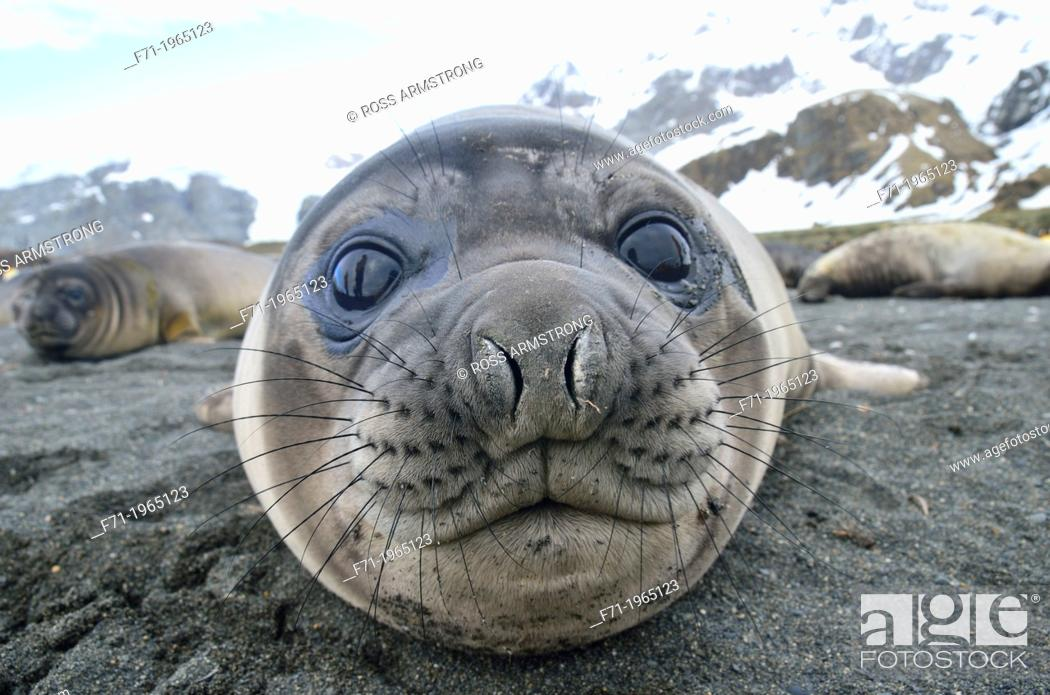 Stock Photo: Juvenile southern elephant seal (Mirounga leonina). Gold Harobour, South Georgia Island.