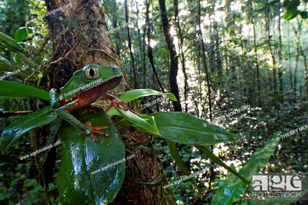 Stock Photo: Phyllomedusa vaillanti. White-lined leaf frog on a branch, in the early morning. Forest of the Kaw mountain. French Guiana.