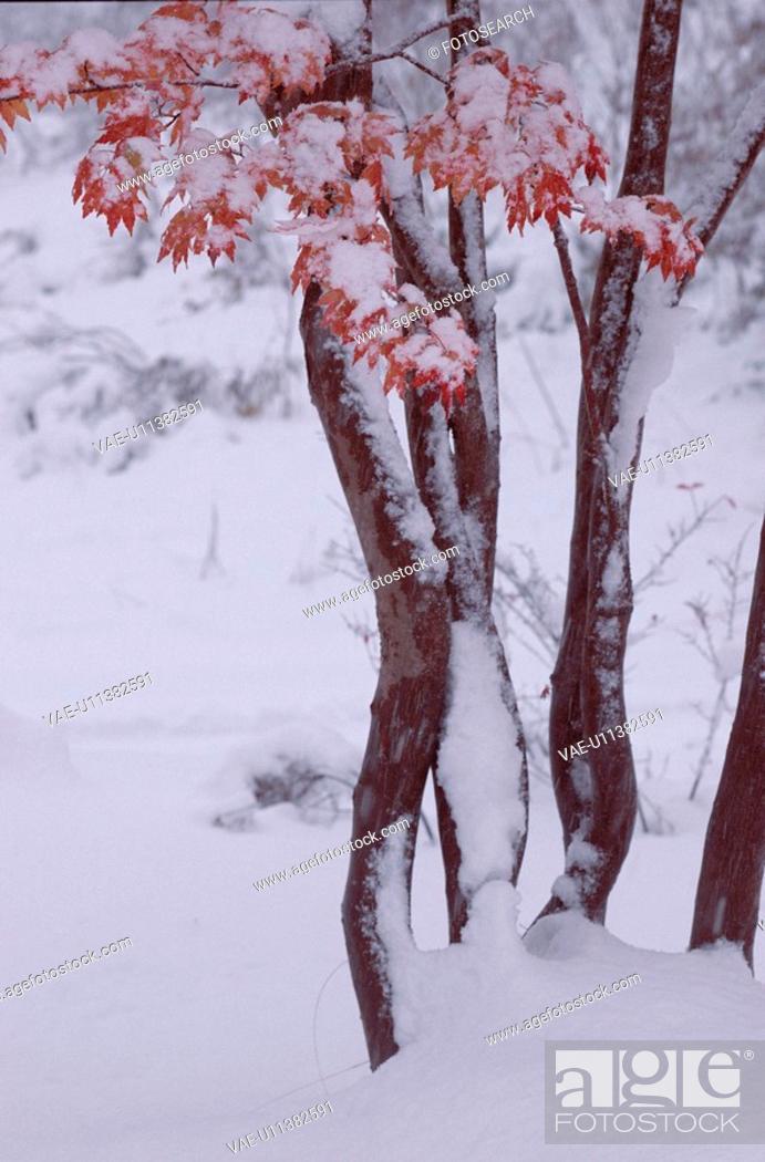 Stock Photo: Snow On Leafy Maple Trees.