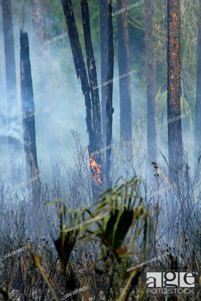 Stock Photo: florida forest fire.