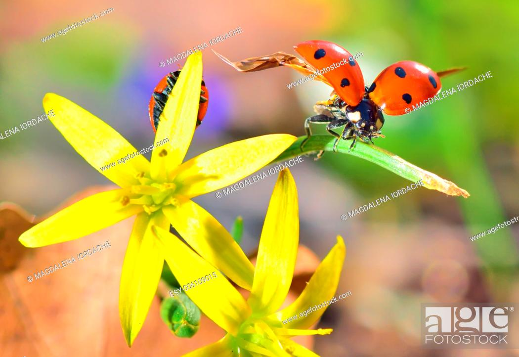 Stock Photo: Details of Ladybugs on spring flowers.