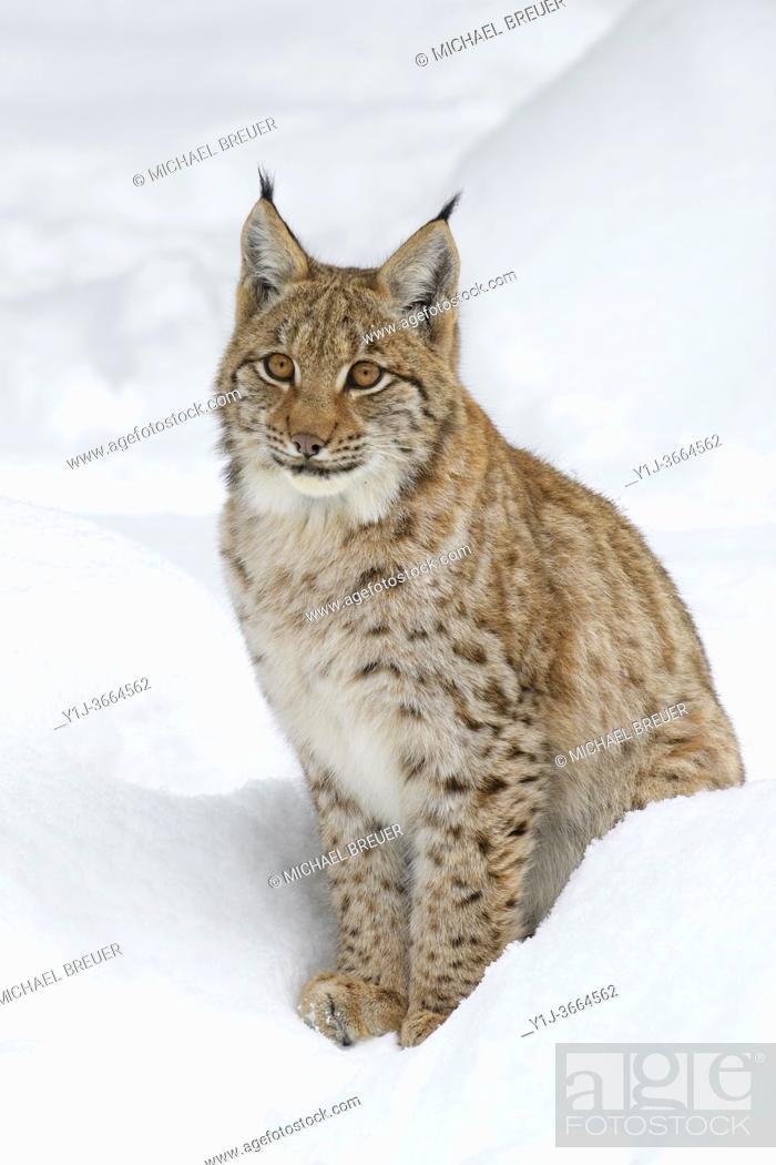 Stock Photo: European lynx in winter, Lynx lynx, Bavarian Forest National Park, Germany, Europe.