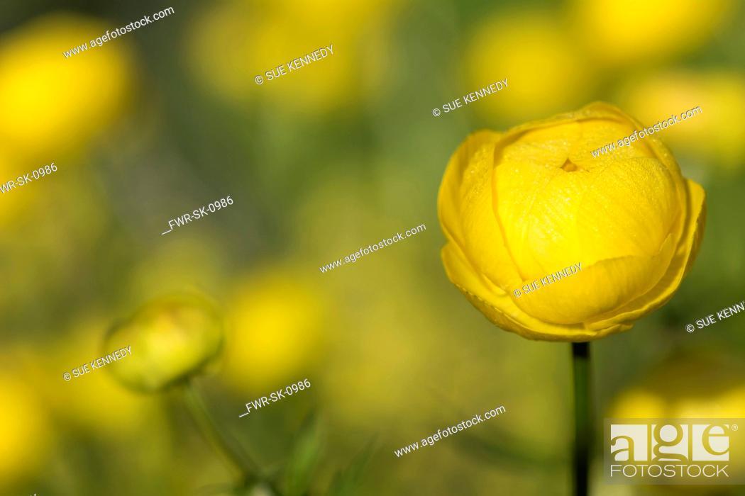 Imagen: Globeflower, Trollius europaeus, Growing outdoor in bright morning sun.