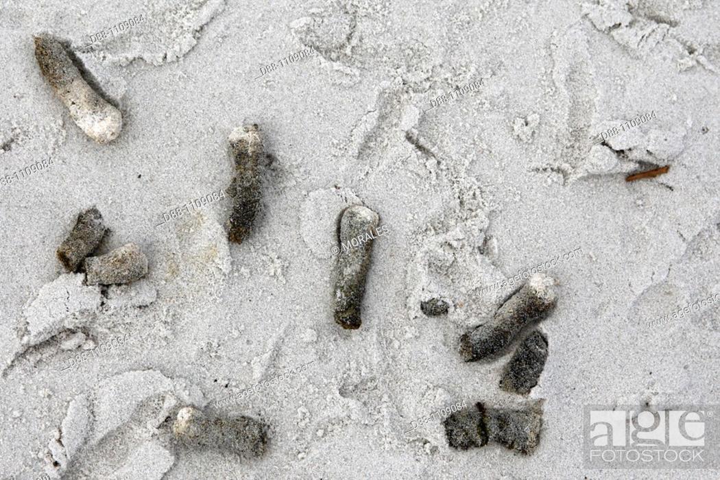 Stock Photo: Tracks ans shit of Upland Goose, Pebble Island, Falkland-Malvinas Islands.