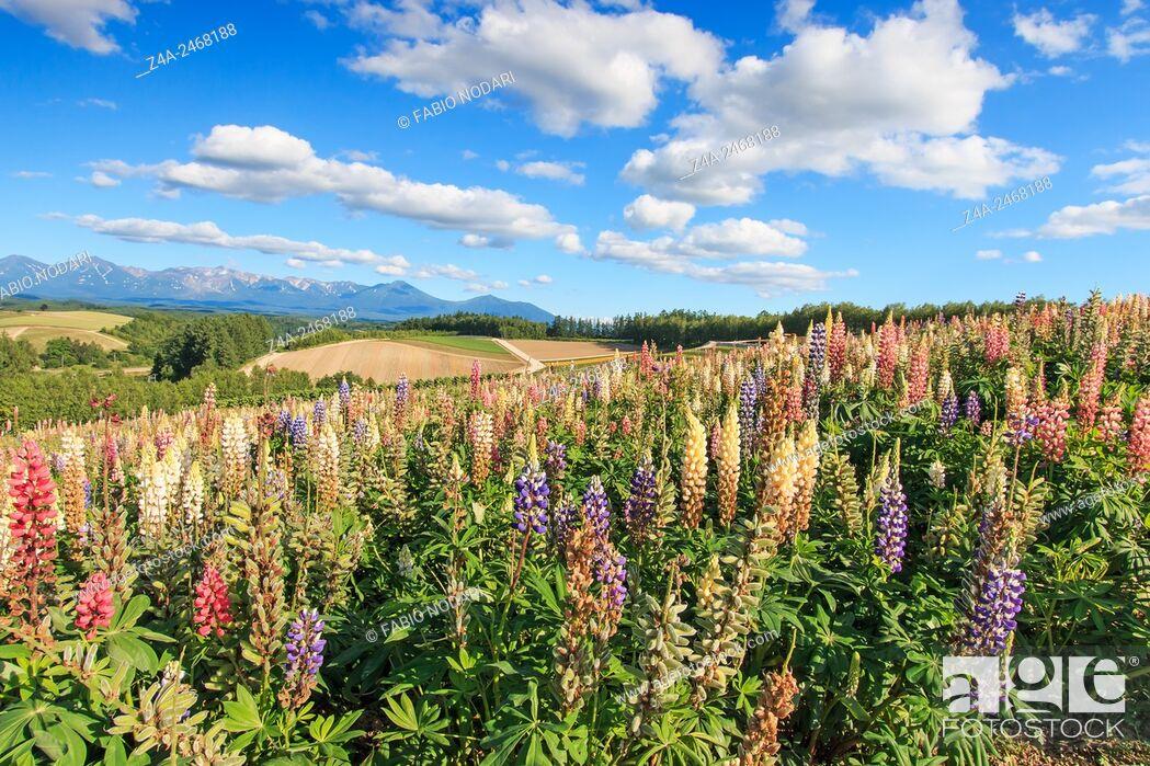 Stock Photo: Flower garden in Kamifurano, with mountain view in Furano, Hokkaido Japan.