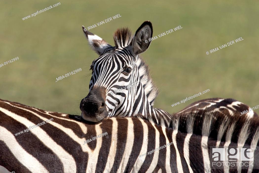 Stock Photo: Tanzania, Northern Tanzania, Serengeti National Parks, Ngorongoro Crater, Tarangire, Arusha and Lake Manyara, Zebra, Portrait.