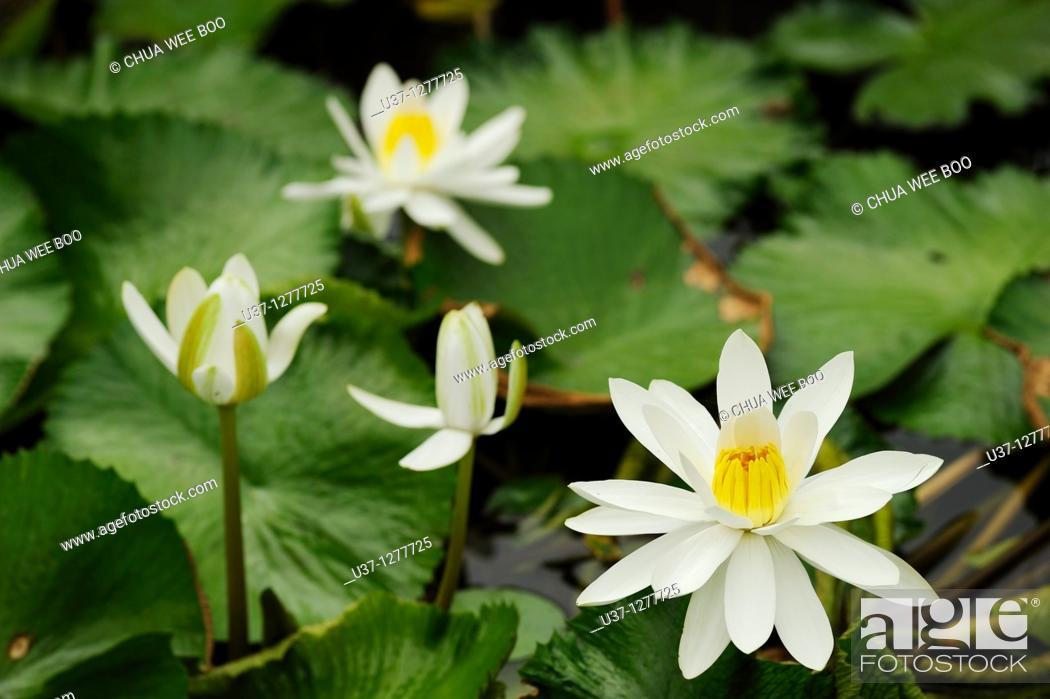 Stock Photo: Water lillies taken at Orchid Garden, Kuching, Sarawak, Malaysia.