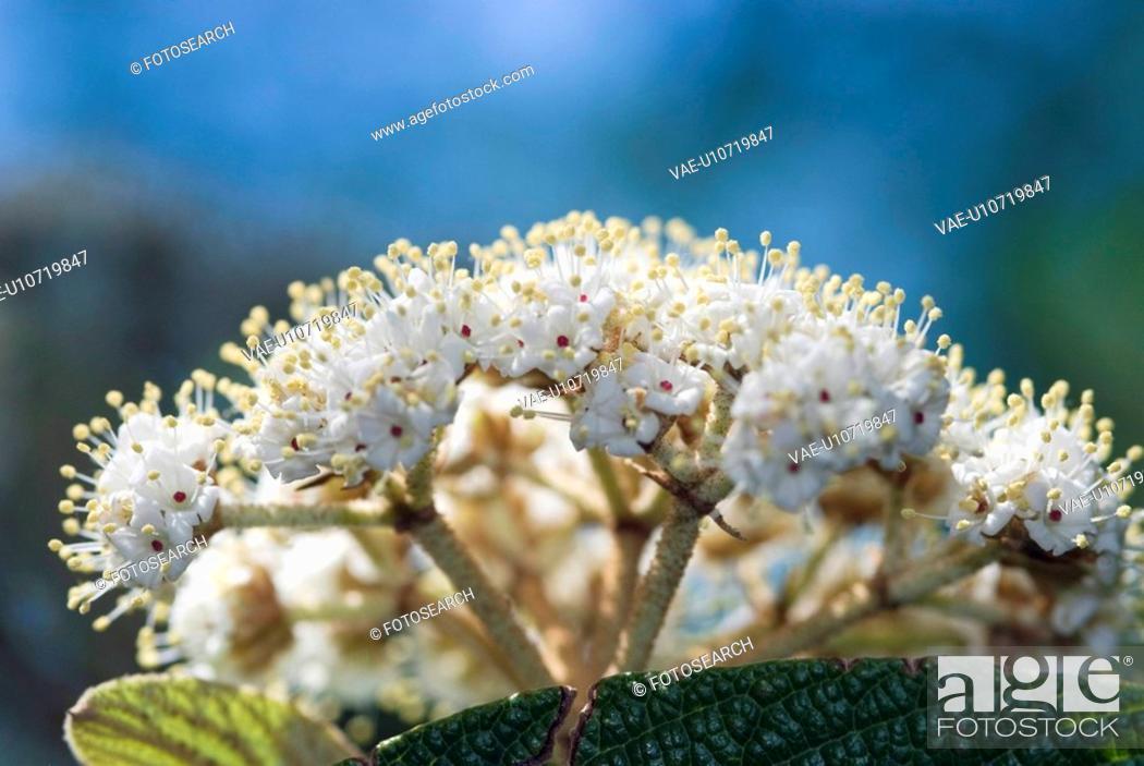 Stock Photo: Dipsacales, flowers, flora, Runzelblaettriger Schneeball, garden, viburnum, adoxaceae.