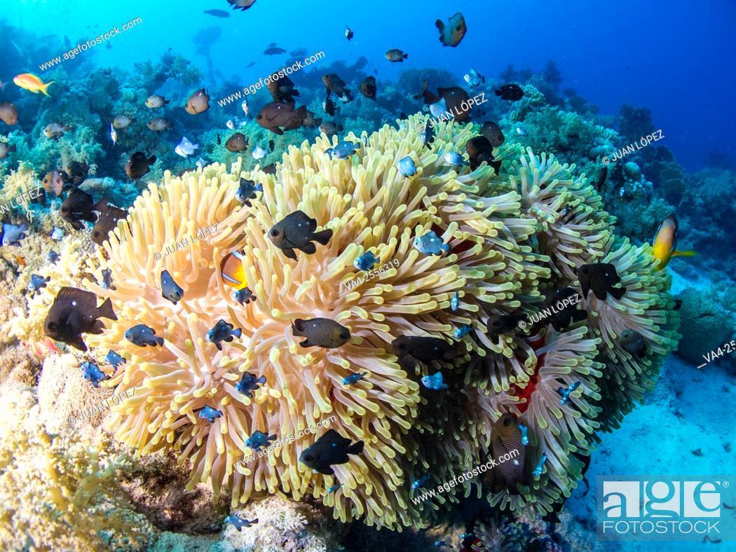 Stock Photo: Magnificent anemone Stichodactyla gigantea. Red Sea, Sharm el-Sheikh, Egypt.
