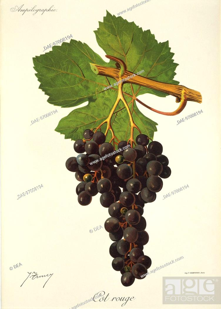 Stock Photo: Pierre Viala (1859-1936), Victor Vermorel (1848-1927), Traite General de Viticulture. Ampelographie, 1901-1910. Tome VI, plate: Cot Rouge grape.