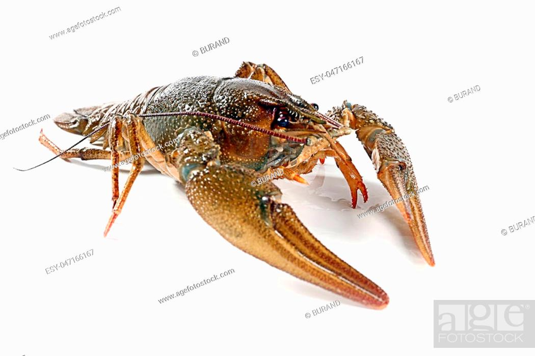 Stock Photo: live crayfish fished as a trophy fisherman.