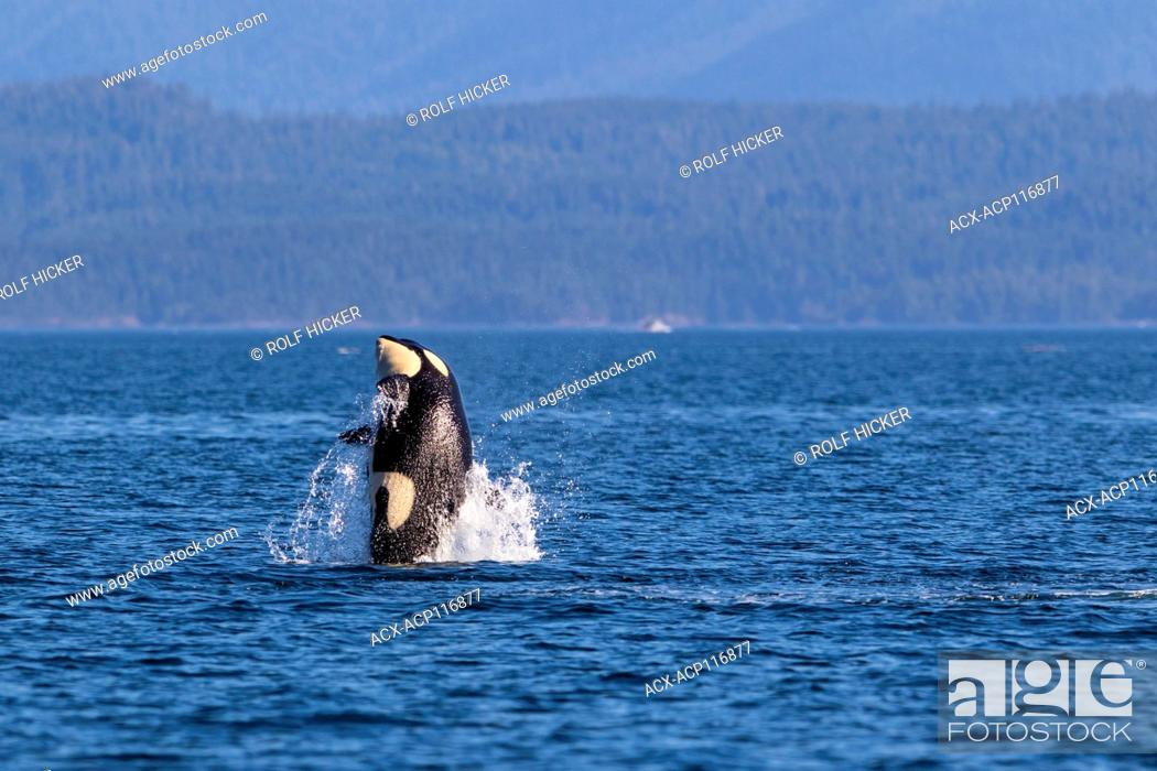 Stock Photo: Northern resident killeer whale breaching in front of Swanson Island off Northern Vancouver Island, British Columbia, Canada.