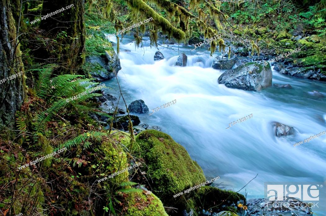 Stock Photo: This beautiful nature image is a Pacific Northwest forest with a river running through over rocks with lots of moss hanging from trees and undergrowth ferns.