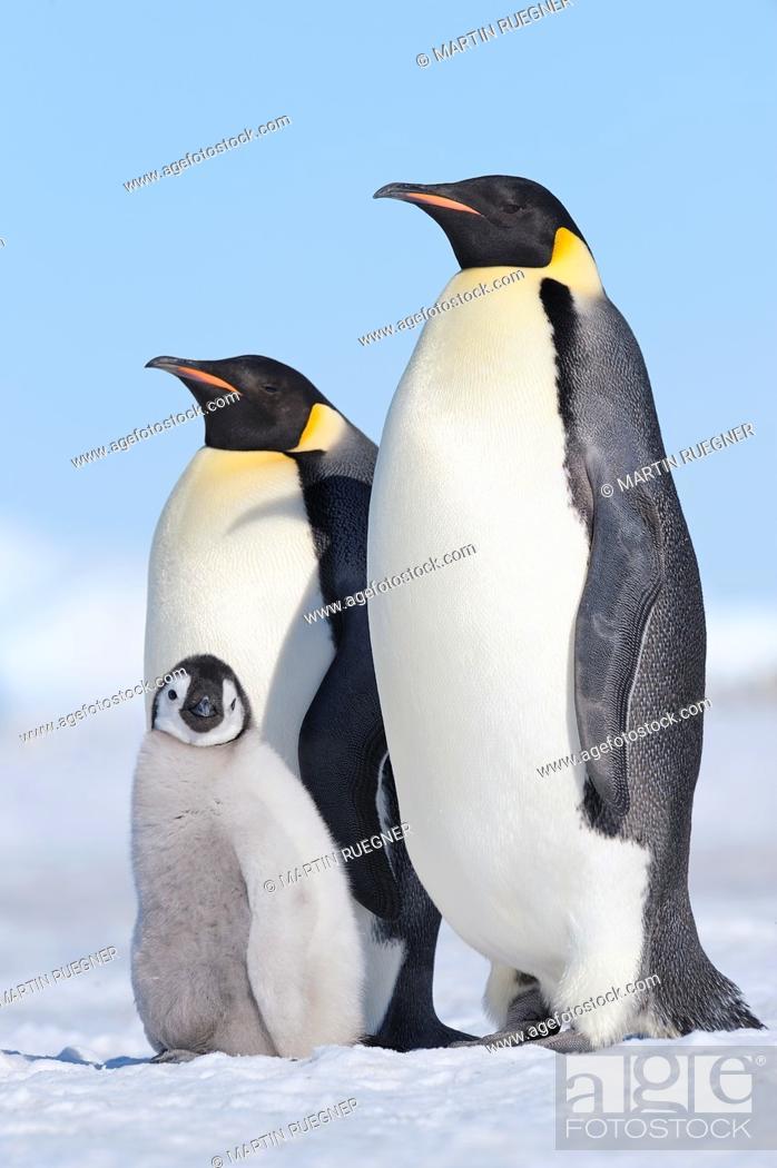 Stock Photo: Emperor Penguin Aptenodytes forsteri adult and chick  Snow Hill Island, Antarctic Peninsula, Antarctica.
