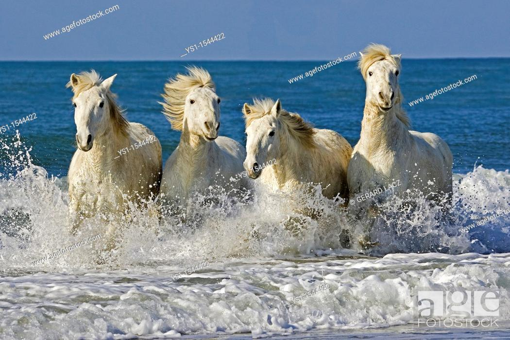 Stock Photo: Camargue Horses, Herd Galloping on the Beach, Saintes Marie de la Mer in the South of France.