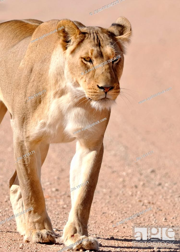 Stock Photo: Lioness, Panthera leo, walking on the gravel road, Kgalagadi Transfrontier Park, Northern Cape, South Africa.