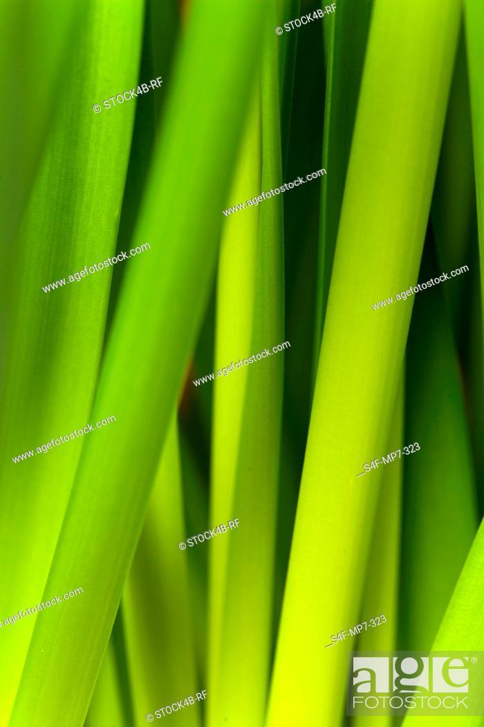 Stock Photo: Detail of leek stalks.