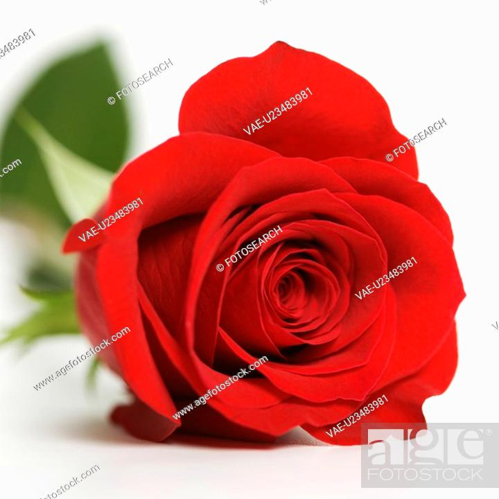 Stock Photo: Close-up of single red rose against white background.