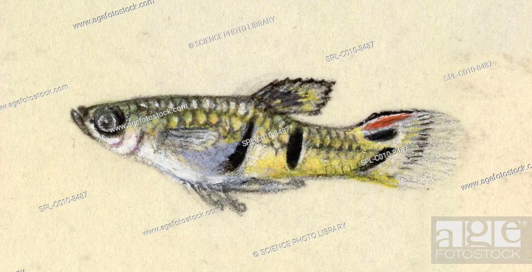 Stock Photo: Guppy fish family Poeciliidae. This artwork dates from 1903, and is by Plantagenet Lechmere Guppy, the son of the British naturalist Robert John Lechmere Guppy.