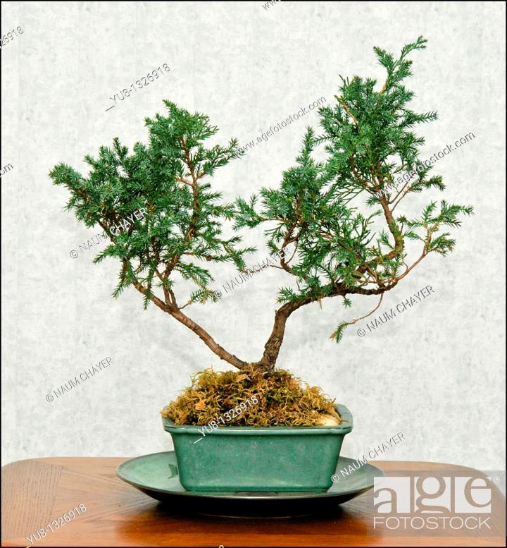 Stock Photo: Image of Bonsai tree on the table.