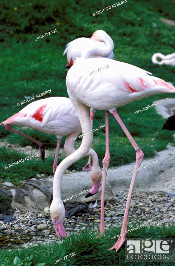 Stock Photo: Close-up of pink flamingoes at Tiersgarten, the Zoo, Hietzing, Vienna, Austria, Europe.