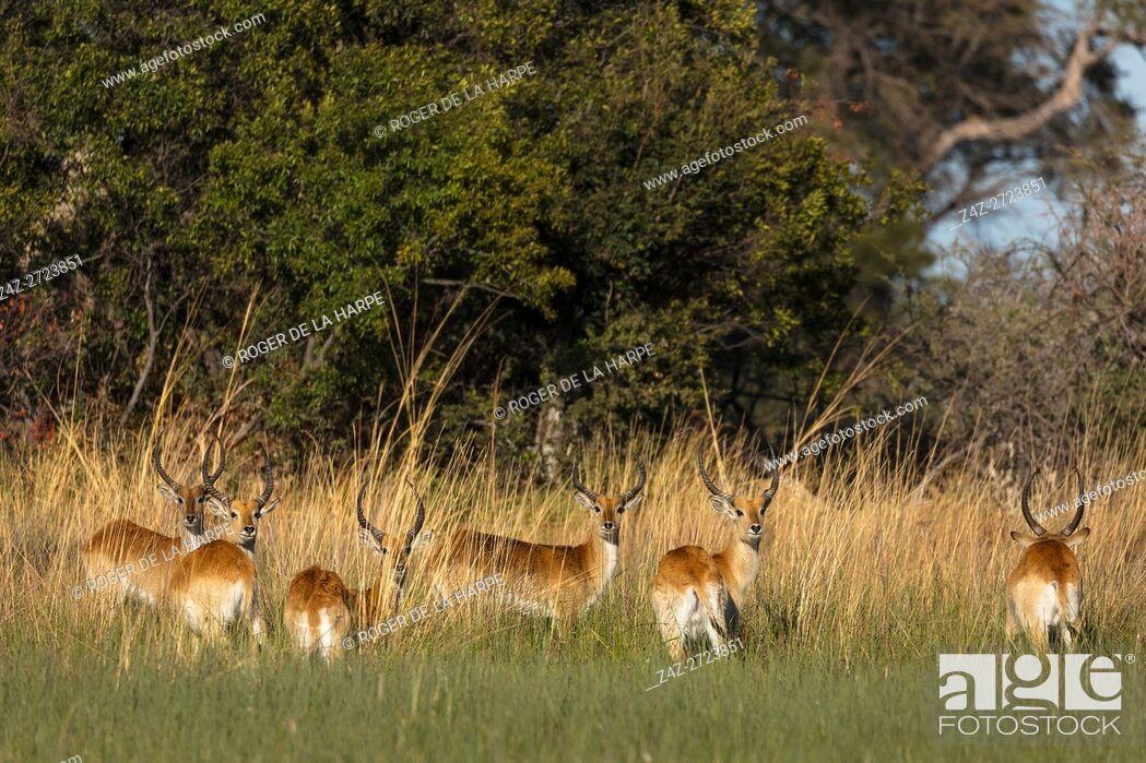 Imagen: Red lechwe (Kobus leche leche). Okavango Delta. Botswana.
