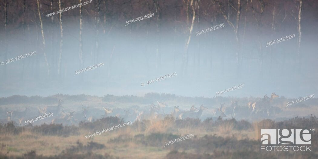 Imagen: group of Red Deer (Cervus elaphus) and Fallow Deer (Dama dama) in a moorland of Natuurmonumenten coverd in thin fog and with Birch (Betula) trees in the.