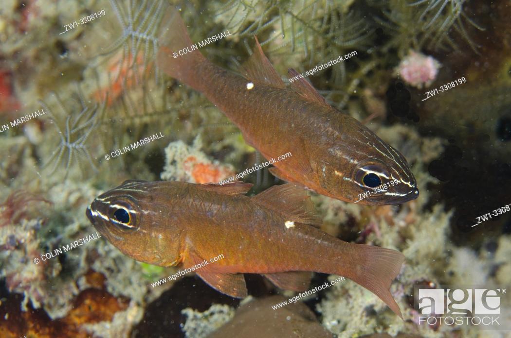 Stock Photo: Moluccan Cardinalfish (Ostorhinchus moluccensis) pair, Laha dive site, Ambon, Maluku (Moluccas), Indonesia.