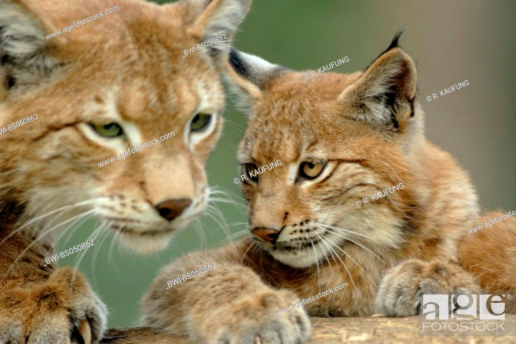 Stock Photo: Eurasian lynx (Lynx lynx), female with cub.