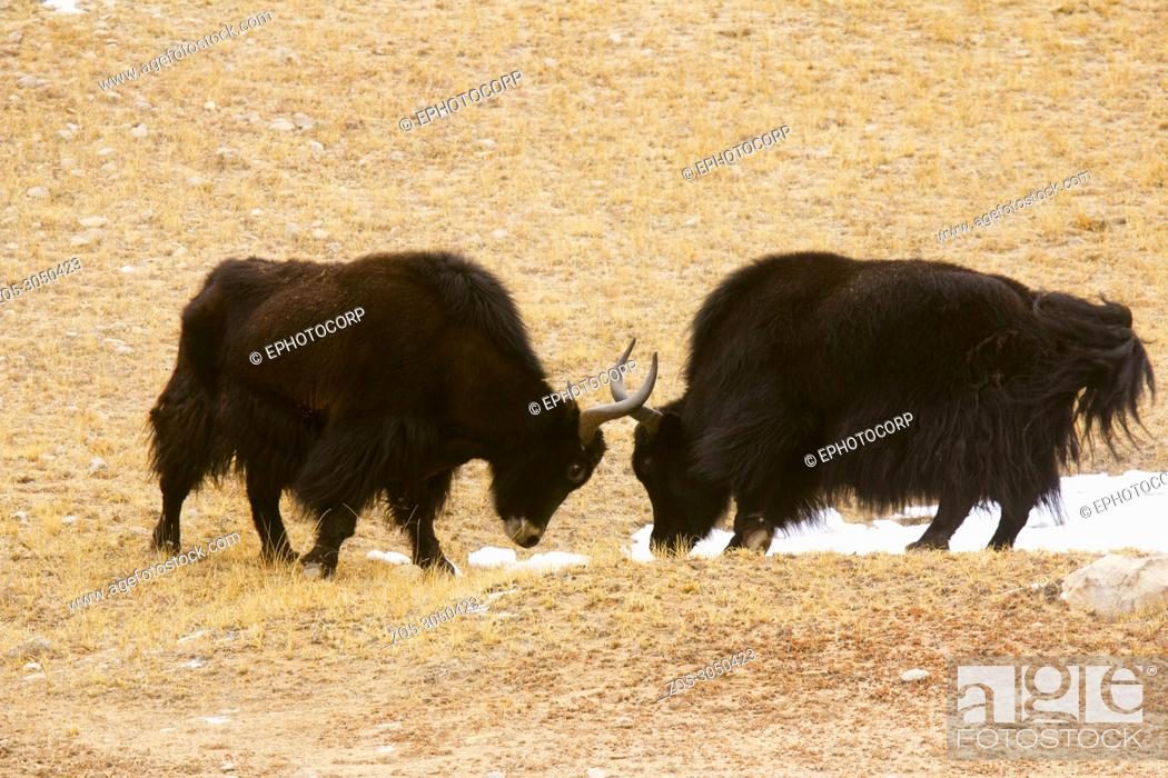 Stock Photo: Male Yaks in a fight, Pangong, Jammu and Kashmir, India.