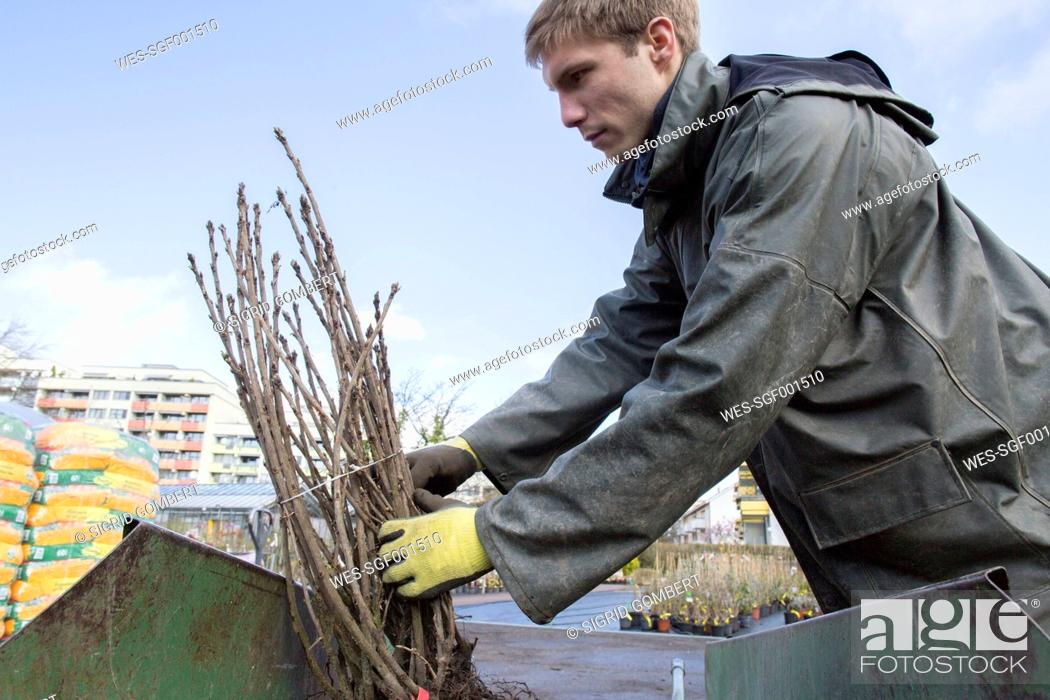 Stock Photo: Young gardener at work, carrying shrub.