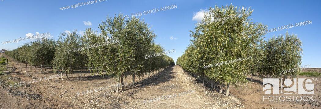 Imagen: Intensive olive trees plantation, Extremadura, Spain. Panoramic.