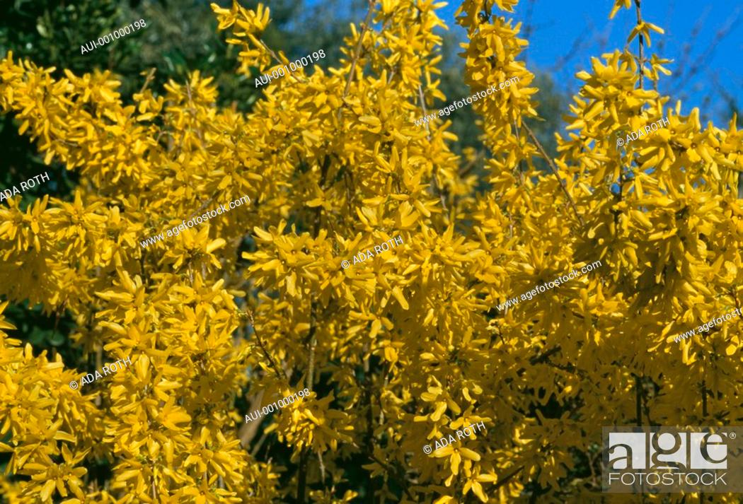 Stock Photo: Forsythia intermedia - exuberant yellow branches signal of ending winter.