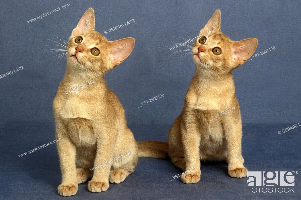 Stock Photo: Fawn Abyssinian Domestic Cat, Kittens.