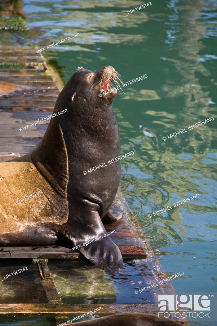 Stock Photo: sea lion calling on a dock, newport oregon united states of america.