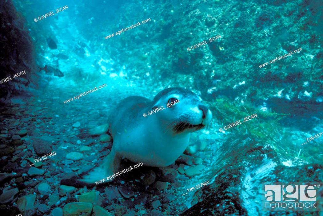 Stock Photo: Australia, Kanguru Island , Sea Lion (Otaria Flavescens).