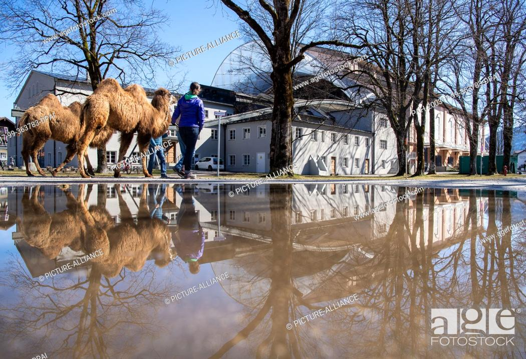 Stock Photo: 08 March 2020, Bavaria, Oberammergau: Actors in the Passion Play perform camels in front of the venue, which will be on stage during the traditional play.