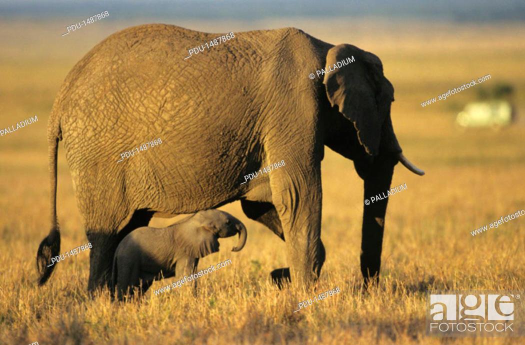 Stock Photo: African elephant (Loxodonta africana) with baby, Kenya, Africa.