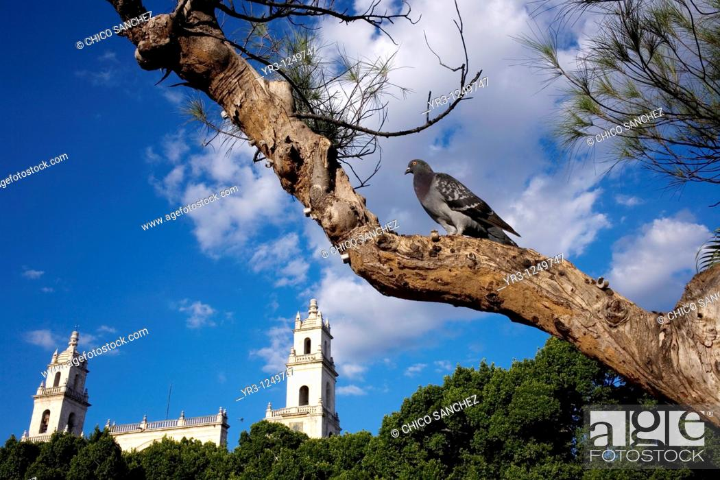 Stock Photo: A pingeon perches in a tree outside Merida's Cathedral on Mexico's Yucatan peninsula.