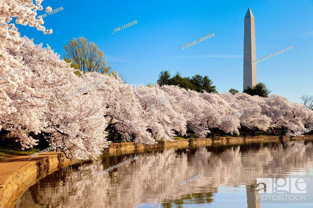 Stock Photo: Blossoming cherry trees along the tidal basin with Washington Monument beyond, Washington DC, USA.