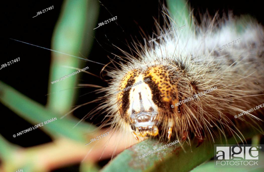 Stock Photo: Head of Grass Eggar caterpillar (Lasiocampa trifolii).