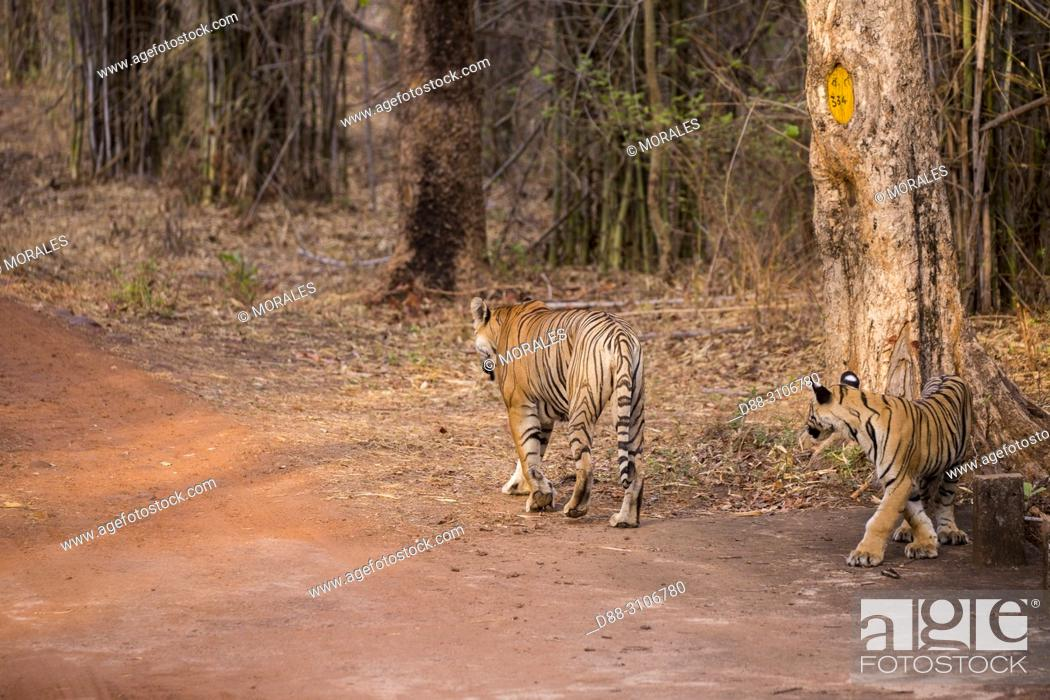 Stock Photo: Asia, India, Maharashtra, Tadoba Andhari Tiger Reserve, Tadoba national park, aadult female and young.
