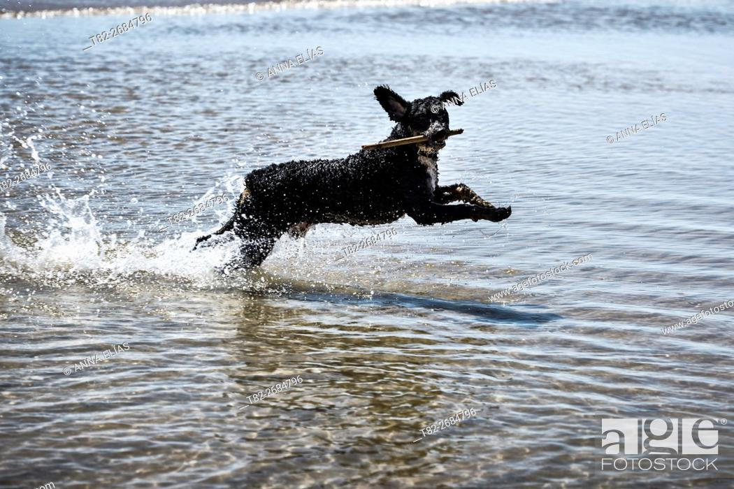Stock Photo: Spanish Water Dog Turkish Andalusian playing in the sea, Andalucia, Spain, Europe.