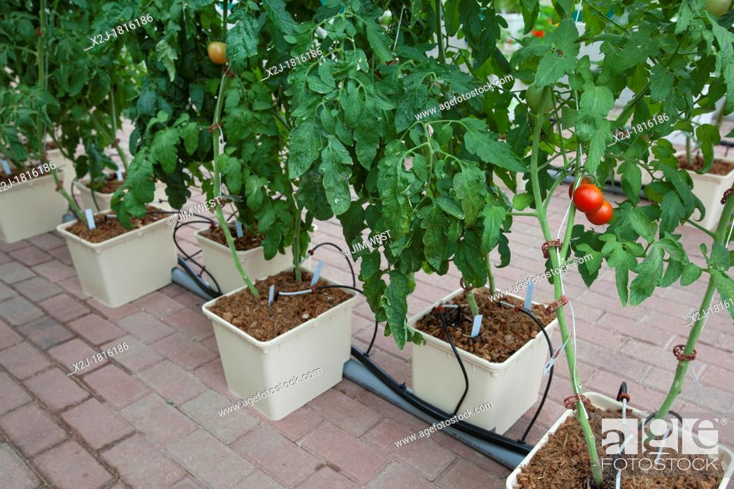 West Bloomfield, Michigan - Organic tomatoes are grown
