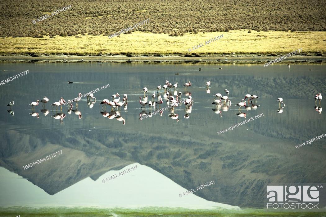 Stock Photo: Bolivia, Sajama National Park, Flamingoes in front of Snowcapped volcano Sajama.