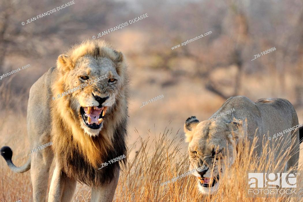 Stock Photo: Lion and Lioness, Panthera leo, roaring, Kruger National Park, South Africa.