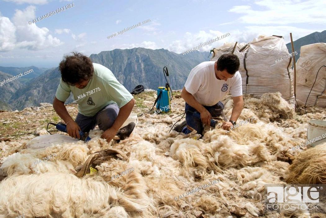 Stock Photo: Shearing sheep.