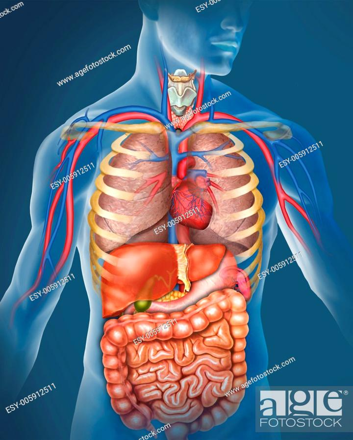 Stock Photo: Illustration of the anatomy of the human body are represented prncipales them arteries and veins and organs of the respiratory and digestive.
