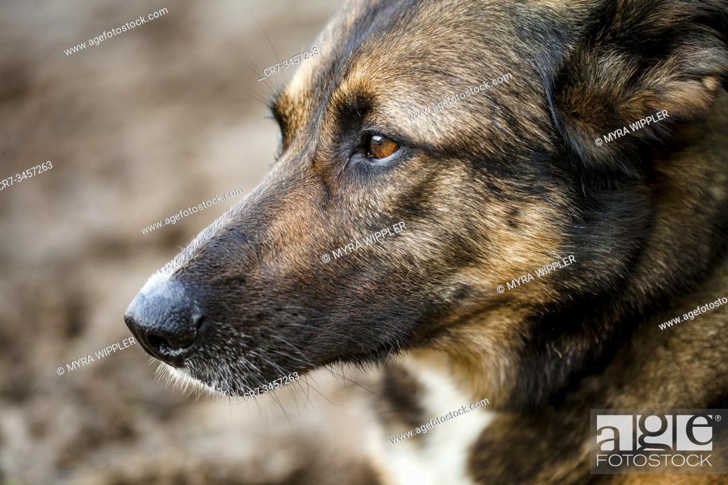 Stock Photo: Shepherd and East Siberian Laika mix dog enjoying a summer warm day outdoor, Noord-Brabant, Netherlands.